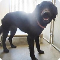 Adopt A Pet :: Flat coat Retreiver Mix - Lincolnton, NC