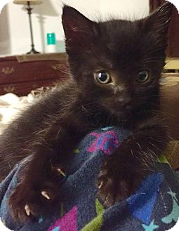 Domestic Shorthair Kitten for adoption in Burlington, North Carolina - TINSEL