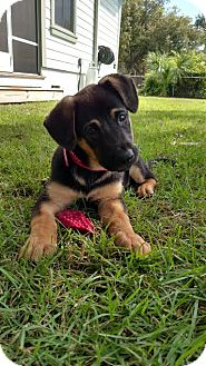 German Shepherd Dog Puppy for adoption in Lithia, Florida - Sara pup Lisa - 16 (adoption pending)