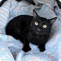 Bombay Cat for adoption in Newport Beach, California - FELIX