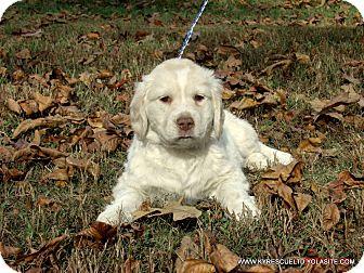 Clumber Spaniel/Labrador Retriever Mix Puppy for adoption in PRINCETON, Kentucky - MIKEY/ADOPTED