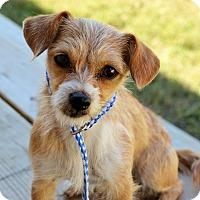 Terrier (Unknown Type, Small) Mix Dog for adoption in Allentown, Pennsylvania - Donatella