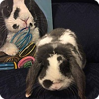 Adopt A Pet :: Panda - Hillside, NJ