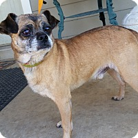 Adopt A Pet :: Puggles - Silver Spring, MD