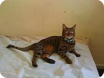 Bengal Cat for adoption in Lantana, Florida - Oliver