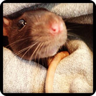 Rat for adoption in Lees Summit, Missouri - Isabella