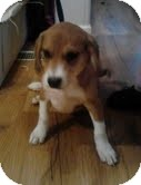 Beagle/Spaniel (Unknown Type) Mix Puppy for adoption in Allentown, Pennsylvania - Ted