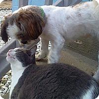 Adopt A Pet :: Maggie - Glastonbury, CT