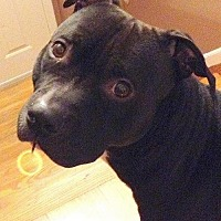 American Staffordshire Terrier/American Pit Bull Terrier Mix Dog for adoption in Staten Island, New York - Romeo
