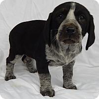 Adopt A Pet :: Dakota (7 lb) - Sussex, NJ