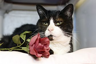 Domestic Shorthair Cat for adoption in Whitehall, Pennsylvania - Oreo