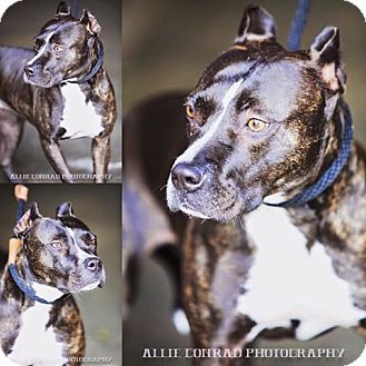 American Pit Bull Terrier Mix Dog for adoption in Southern Pines, North Carolina - Onyx