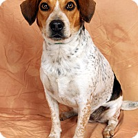 Adopt A Pet :: Finch BeagleHeeler - St. Louis, MO