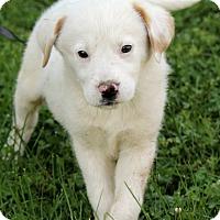 Adopt A Pet :: Maxton - Spring Valley, NY