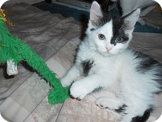 Domestic Mediumhair Kitten for adoption in Carlisle, Pennsylvania - Rosie