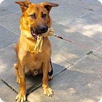 German Shepherd Dog Puppy for adoption in NYC, New York - Oliver Big Puppy