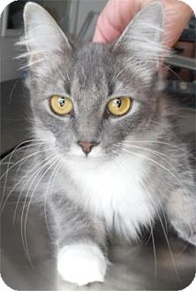 Domestic Mediumhair Cat for adoption in Waupaca, Wisconsin - Bee Bop