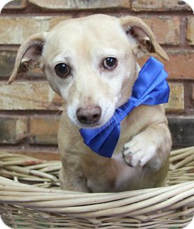 Chihuahua Mix Dog for adoption in Benbrook, Texas - Barry