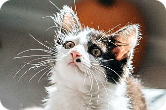 Domestic Mediumhair Kitten for adoption in Durham, North Carolina - Liam