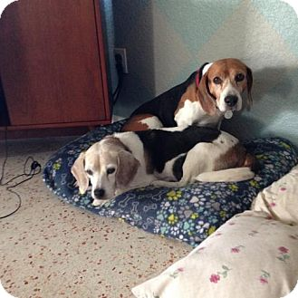 Beagle Dog for adoption in Tampa, Florida - Charlie and Lady