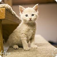 Domestic Mediumhair Kitten for adoption in Columbia, Tennessee - Faith