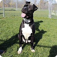 Pit Bull Terrier Dog for adoption in Rockford, Illinois - APOLLO