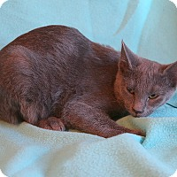 Russian Blue Kitten for adoption in Hagerstown, Maryland - Elaina