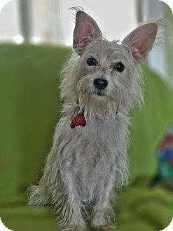 Westie, West Highland White Terrier/Terrier (Unknown Type, Medium) Mix Dog for adoption in San Diego, California - Cecilia
