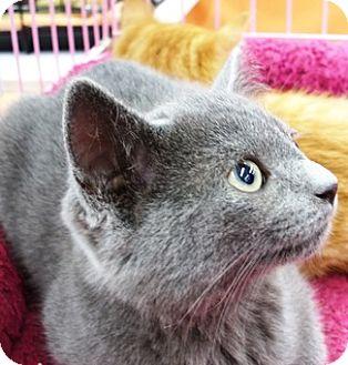 Domestic Shorthair Kitten for adoption in Castro Valley, California - Keegan