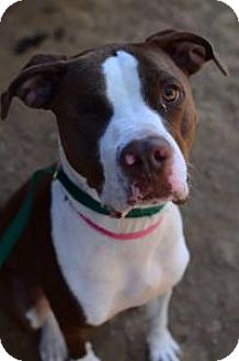 American Staffordshire Terrier Mix Dog for adoption in Chattanooga, Tennessee - Riley