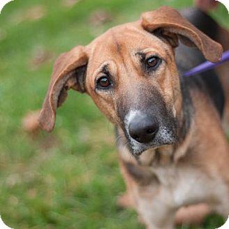 German Shepherd Dog/Beagle Mix Dog for adoption in New Martinsville, West Virginia - Calliope