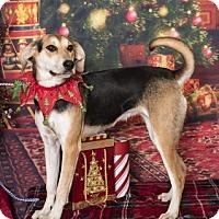 Adopt A Pet :: Kole - Clarksville, AR