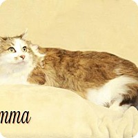 Maine Coon Cat for adoption in Houston, Missouri - Momma