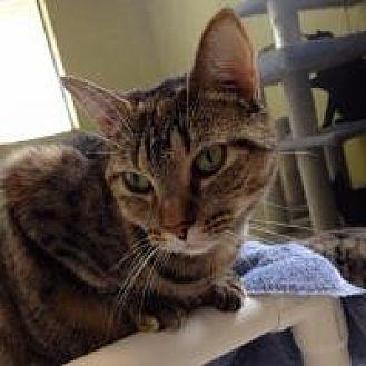Domestic Mediumhair Cat for adoption in Port Richey, Florida - Zebra