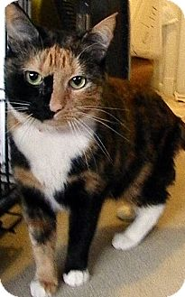 Calico Cat for adoption in Alexandria, Virginia - Hershey Kiss