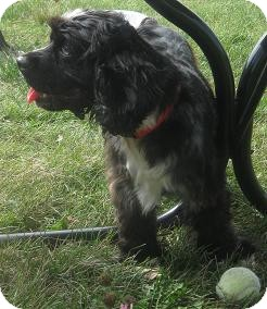 Cocker Spaniel Mix Dog for adoption in Prole, Iowa - Fancy