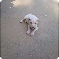Adopt A Pet :: 7 lab puppies - Murfreesboro, TN