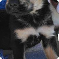 Adopt A Pet :: Kuma - Austin, AR