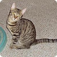 Adopt A Pet :: Mitts - Raritan, NJ