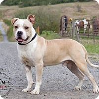 Adopt A Pet :: CAPONE - Kingston, WA