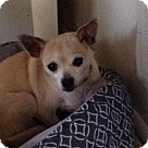 Adopt A Pet :: Chloe the chi