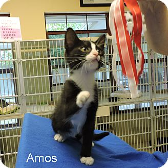Domestic Shorthair Kitten for adoption in Slidell, Louisiana - Amos