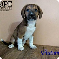 Adopt A Pet :: Autumn - Godfrey, IL