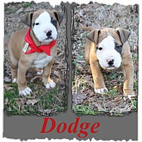 Adopt A Pet :: Dodge-pending adoption - Manchester, CT