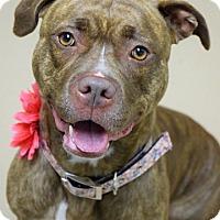 Adopt A Pet :: Diamond - Dublin, CA