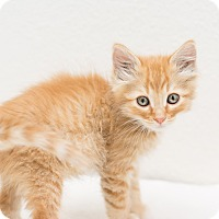 Adopt A Pet :: Jerry - Fountain Hills, AZ