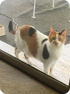 Domestic Shorthair Cat for adoption in Indianapolis, Indiana - Spotty