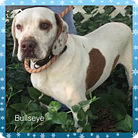 Adopt A Pet :: Bullseye - Boston, MA