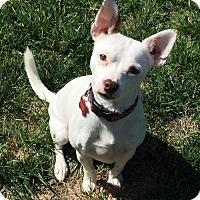 Chihuahua Mix Dog for adoption in Sacramento, California - Morris