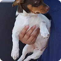 Jack Russell Terrier/Chihuahua Mix Puppy for adoption in Renton, Washington - Gus